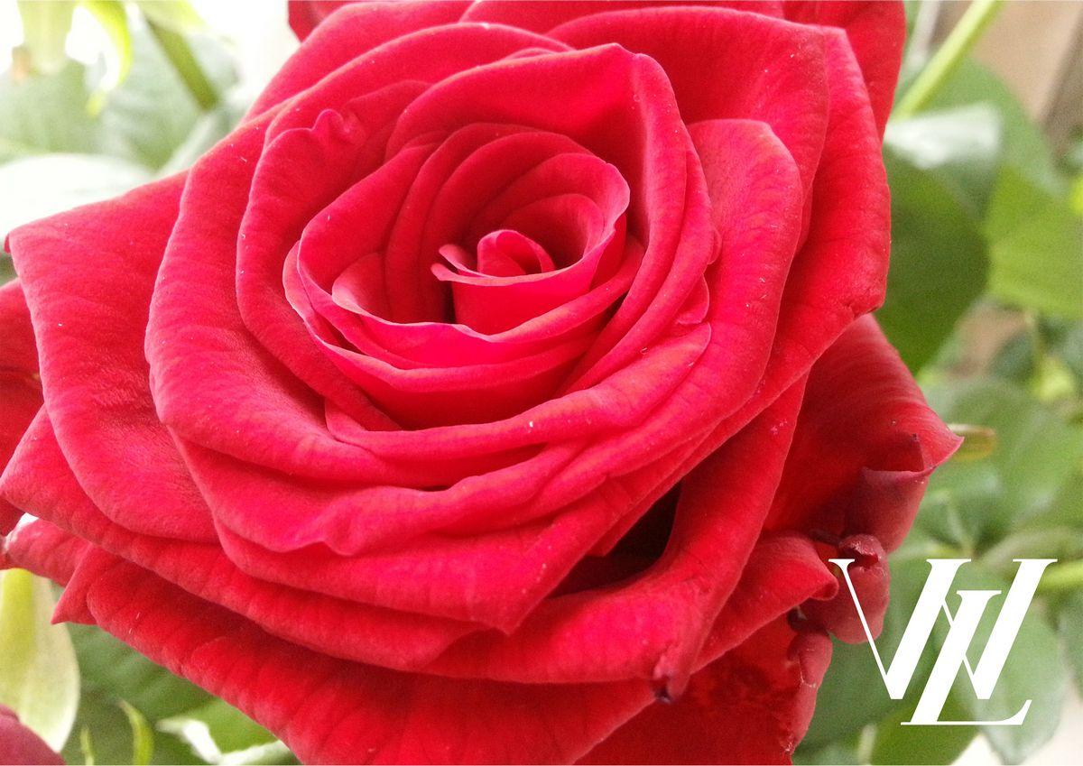 10 лучших применений для лепестков роз