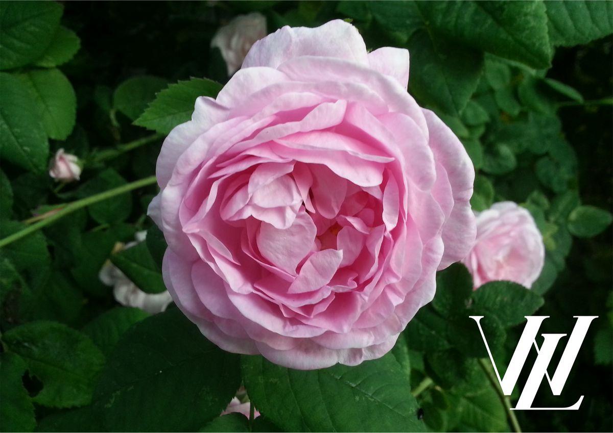 Топ-10 оригинальных способов использования лепестков роз